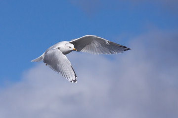 Ring-billed Gull Lifts Into the Sky