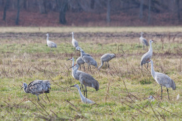 Sandhill Cranes Search for Food