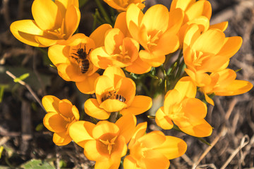 Bee collects nectar and flies. Yellow blooming crocuses