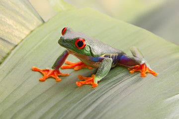 Red eyed tree frog, or Agalychnis callydrias a small beautiful amphibian from the jungle of Costa Rica.
