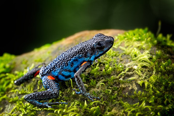 poisonous dart frog, Ameerega ingeri a dendrobatidae amphibian from the tropical Amazon rain forest in Colombia. Poisonous animal.