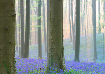 early morning light spring forest with violet blue bells in the foggy mist. These wild flowers cover the floor of the woods with a carpet of color.. Bluebells are beautiful wildflowers.