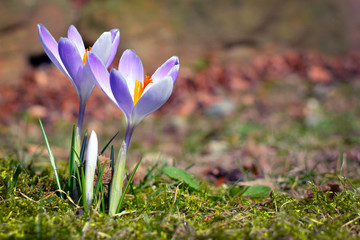 Purple crocus on blurry grass background during early spring