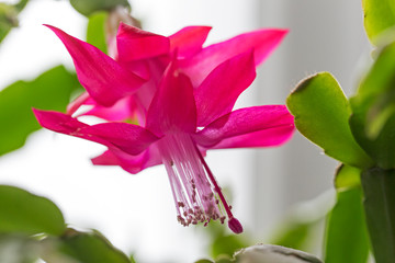 Flower Schlumbergera close-up macro
