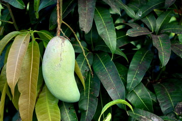 Close up big young green mangoes fruit on mango tree in Thailand