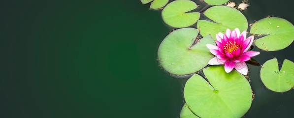 Spoed Fotobehang Waterlelies Beautiful water lily flower in the pond surrounded by green leaves. Long cover