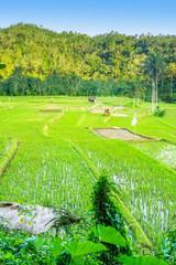 Lush green rice field or paddy in Bali