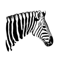 Zebra vector hand drawn graphic illustration on white background