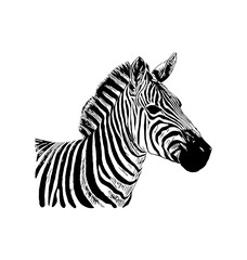 Zebra vector hand drawn graphic illustration on white background