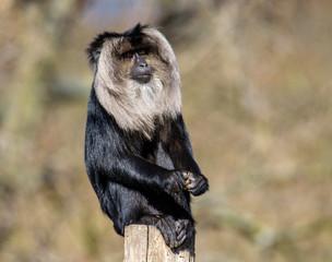 Acrylic Prints Kangaroo Macaca silenus, macaque