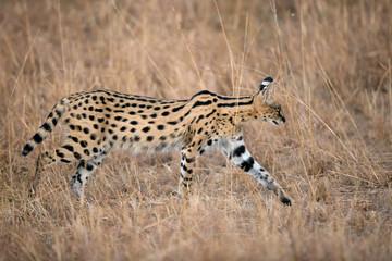 Wall Mural - Serval cat in the grasss of Savannah, Masai Mara