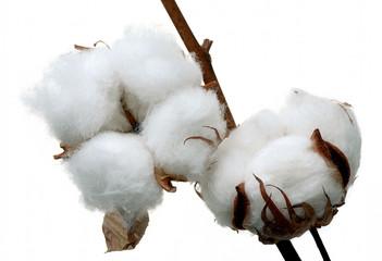 Cotton twigs.