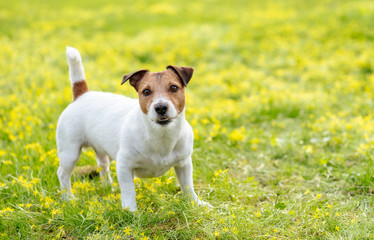 Dog in alerted pose focused and waiting for something on spring blooming lawn