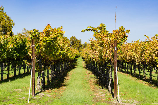 Vineyard in autumn, Livermore, east San Francisco bay area, California