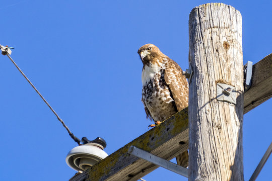 Juvenile Red-tailed Hawk (Buteo jamaicensis) perched on wooden power pole, San Francisco bay, California
