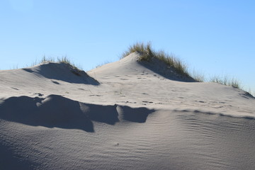 marram grass in the sun at the sand dunes along the north sea coast in the Netherlands