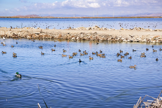 Waterfowl on waterways in south San Francisco bay, Sunnyvale, California