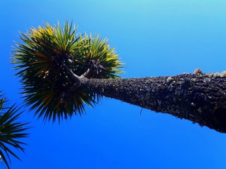 Very high tree, a kind of palm. Nature background