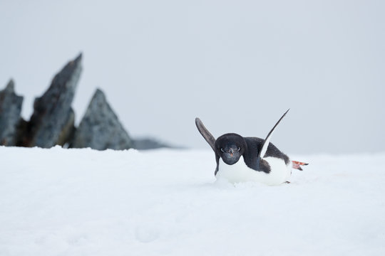 Adelie penguin slides on its belly