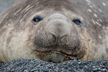 Southern elephant seal close up