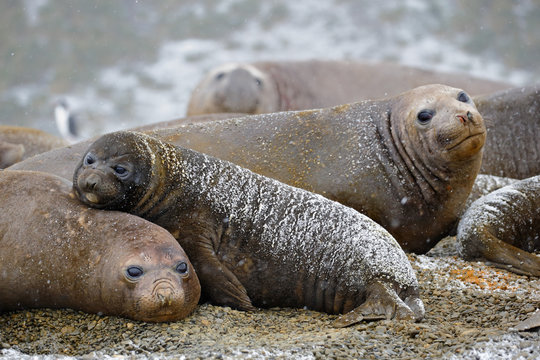 Southern elephant seal rests on its mother