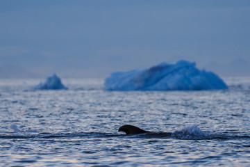 Dorsal fin of whale off the coast of Greenland