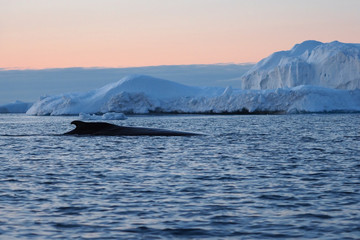 Whale swims by iceberg