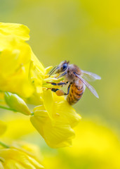 Honey bee collecting pollen on canola flower.