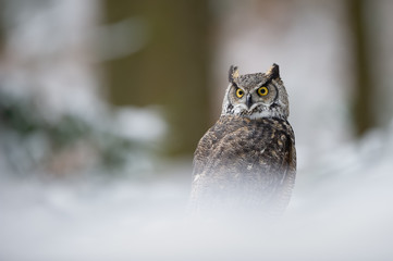 Fototapete - Great horned owl in the winter forest