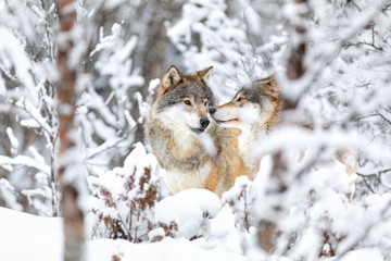 Photo sur Plexiglas Loup Two beautiful wolves in the forest a snowy day at winter