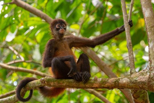 Geoffroy's Spider Monkey in Costa Rica
