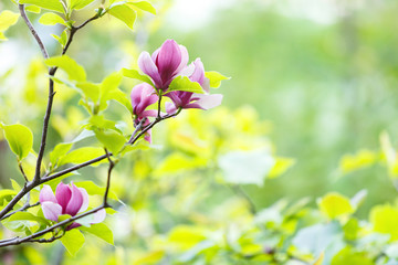 Pink violet tender Magnolia flowers.  Beautiful blossomed  branch at spring. Magnolia flower blooming tree. Nature, spring background