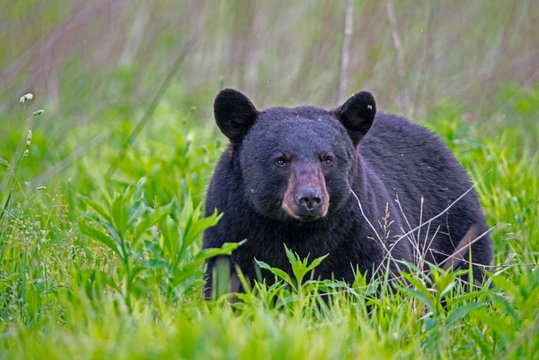 Single Black Bear feeds on green grass in the Smoky Mountains.