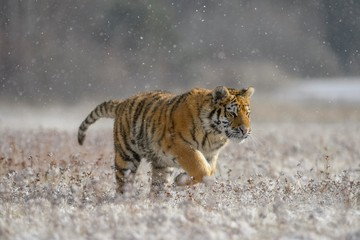 Siberian tiger (Panthera tigris altaica), captive, running across a meadow during heavy snowfall, Moravia, Czech Republic, Europe