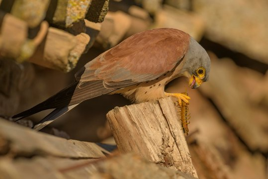 Lesser Kestrel (Falco naumanni), adult, male with prey, Centipede (Chilopoda), Extremadura, Spain, Europe