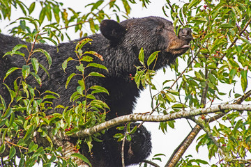 In Cades Cove, a Black Bear is in a tree, feeding on ripe cherries.