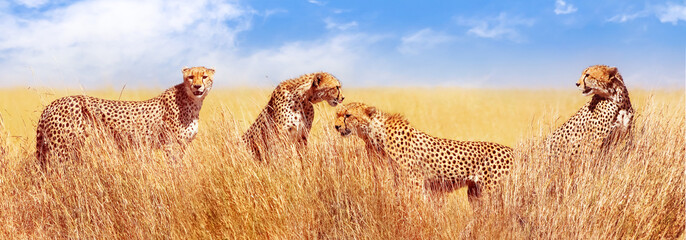 Wall Mural - Group of cheetahs in the African savannah. Africa, Tanzania, Serengeti National Park. Banner design. Wild life of Africa.
