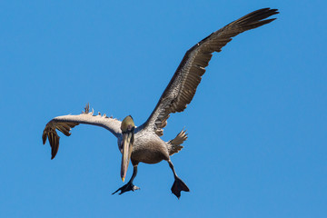 Wild Brown Pelican outside of Fort Jefferson during the day in Dry Tortugas National Park