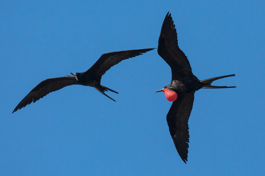 A wild magnificent frigatebird flying outside of Fort Jefferson in Dry Tortugas National Park (Florida).