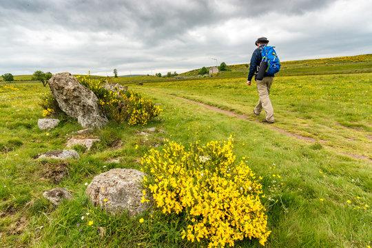 Behind the broom in bloom, a hiker walks on the pilgrimage way to Santiago de Compostela