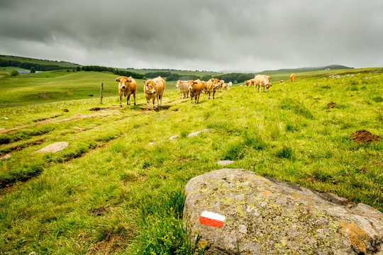 Behind the mark that marks the pilgrimage path to santiago de Compostela, a herd of cows of the Aubrac watch on the way