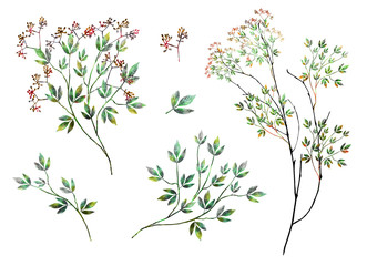 watercolor drawing of twig with leaves and flowers. Botanic illustration.