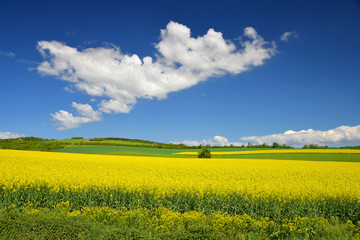 Spring landscape with yellow rapeseed field and blue sky with clouds.