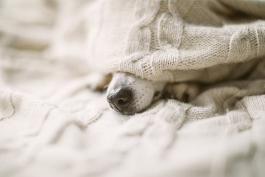 Dog nose under the blanket. sick ill flu dog nose in bed. Cozy home recovering