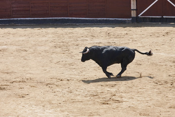 Fighting bull running in the arena. Bullring. Toro bravo