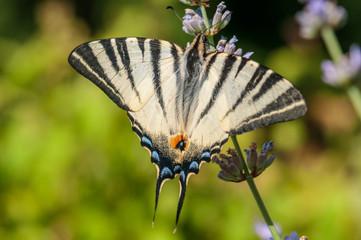Papilio machaon butterfly on lavender angustifolia, lavandula
