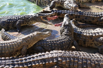 Wall Murals Dragons Crocodiles bask in the sun, lie on the sand, eat and frolic. Crocodile Farm. Breeding crocodiles.