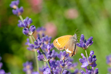 Butterfly on lavender angustifolia, lavandula in sunlight in herb garden