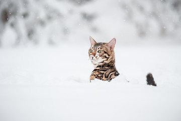 Bengal in deep Snow