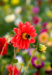 The bee collects pollen from red bloom. A bug pollinates a beautiful red flower in the garden.